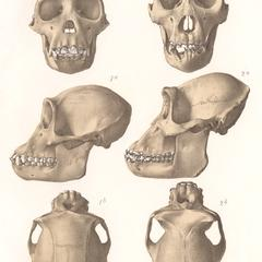 Gorilla and Chimpanzee Skulls Print