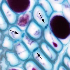 Sieves of sieve cells - phloem in cross section of pine stem