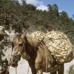 Ears of corn on horse, Las Vigas