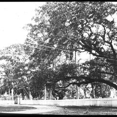 Trees near Governor's house