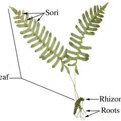 Labeled fern sporophyte