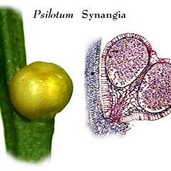 Sporangium of Psilotum