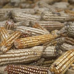 Corn out of one harvest, Finca El Sesteadero