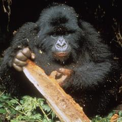 Gorilla gorilla beringei