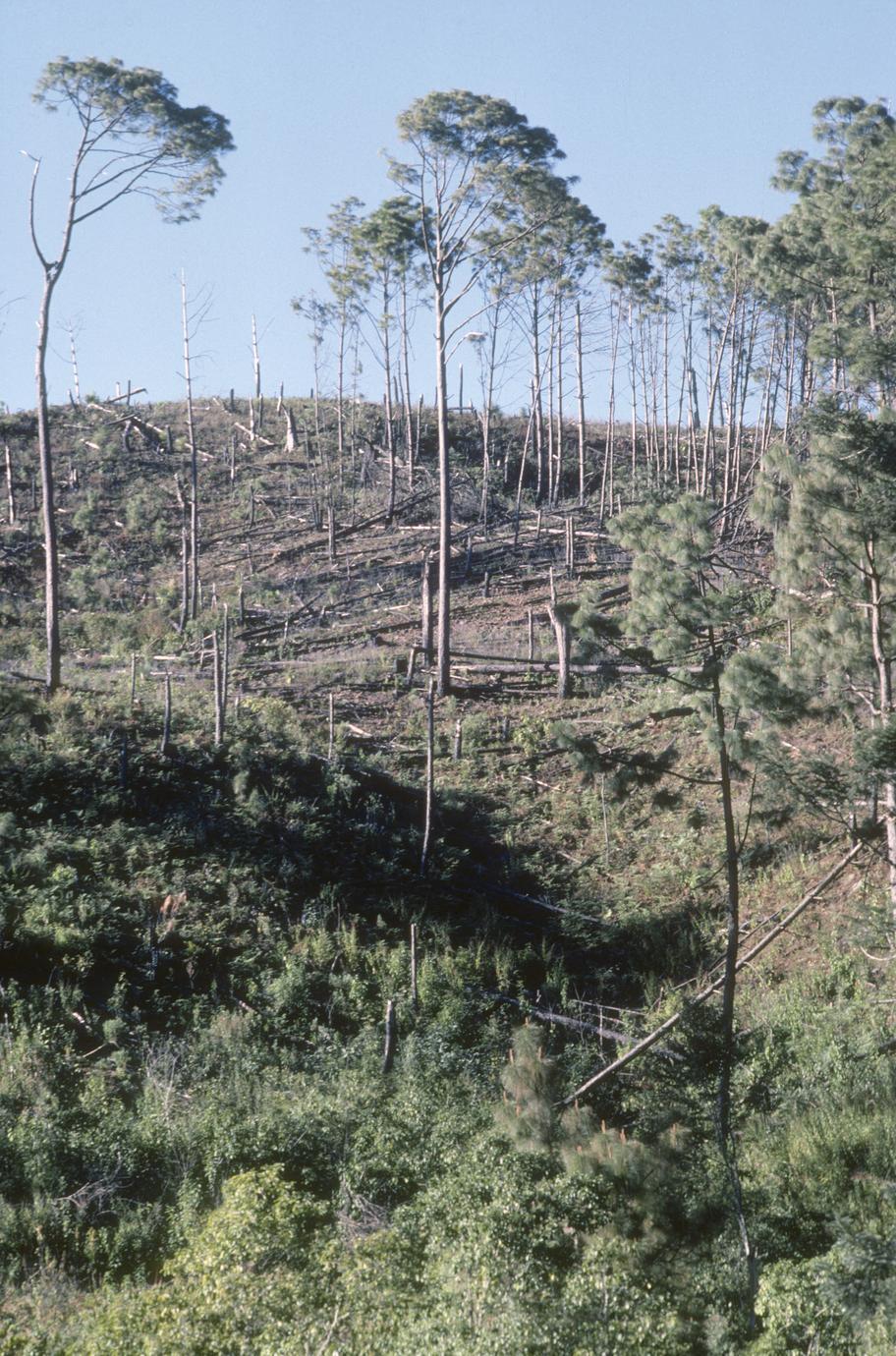 Burned-over pine forest, Sierra de Manantlán