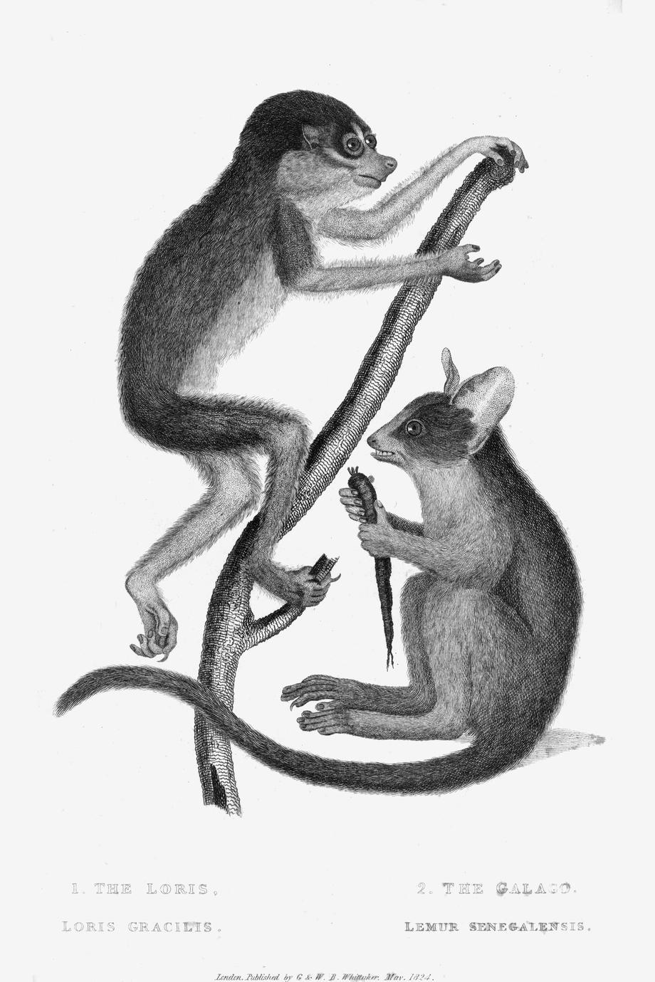 1. The Loris, Loris gracilis; 2. The Galago, Lemur senegalensis