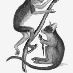 1. The Loris, Loris gracilis; 2. The Galago, Lemur senegalensis