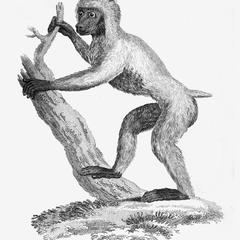 Wood Baboon