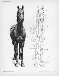 Das Pferd, Tafel 9