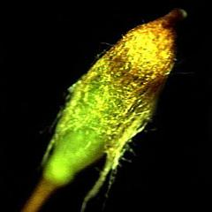Moss sporangium with attached calyptra