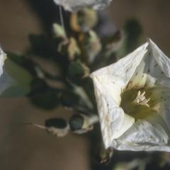 Ipomoea flower, Laguna Retana