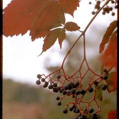 Woodbine with berries in fall, Cherokee Marsh