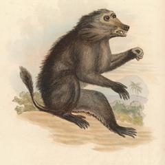 The Dog Faced Baboon