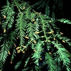 Branch with male cones of coastal redwood