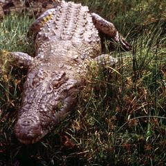 Crocodile near the Nile River in Murchison Falls Park
