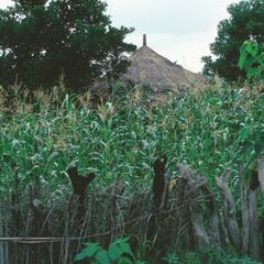 Maize (Corn) Growing in Compound