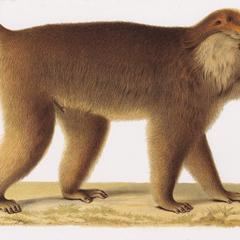 Walking Southern Pig-Tailed Macaque Print