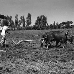 Plowing Field with Oxen