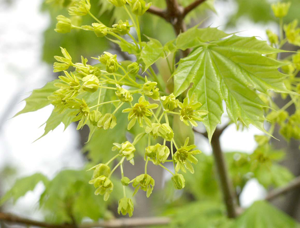 Complete flowers of Norway maple