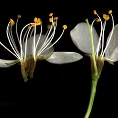 Dissected flower of Japanese plum