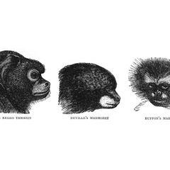 The Negro Tamarin, Deville's Marmozet, and Buffon's Marmozet