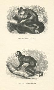 Aye-Aye and Indri Print