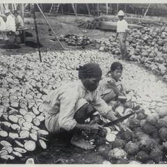 Opening coconuts for drying to make copra, Pagsanjan, Laguna, 1905-1915