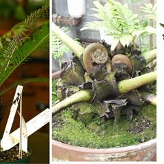 Three fern morphologies : 1. tree fern with elongate erect stem, 2. Angiopteris with short erect stem, and 3. Polypodium with rhizome