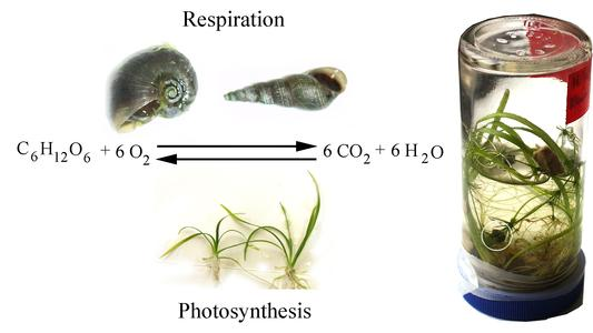 Photosynthesis and respiration : the reciprocal relationship between plants and animals in an enclosure
