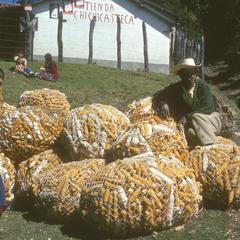 Cultivated corn from village on Pan-American Highway