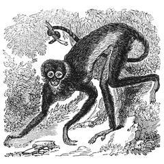 Climbing Spider Monkey Print
