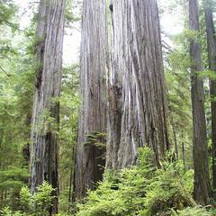 Coastal redwoods in Jebediah Smith Park sprouting on a large trunk