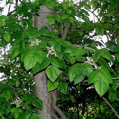 Vine in flower of Toxicodendron radicans