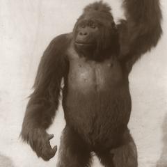 Taxidermed Gorilla Print