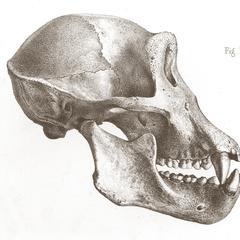 Têtes de Troglodyte Tschégo