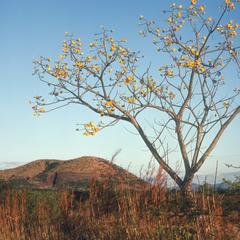 Cochlospermum in flower in savana west of Jutiapa