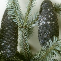 Abies in fir zone of Cofre de Perote