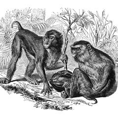 Southern Pig-Tailed Macaque Print
