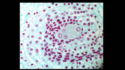 Lilium 4-nucleate embryo sac