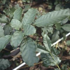 Capparis frondosa, Río Guacimal valley