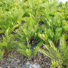 Zamia pumila - mass planting - St. Augustine, Florida