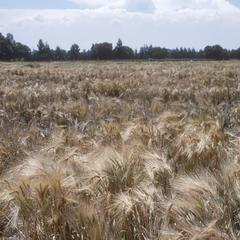 Wheat fields at CIMMYT