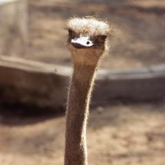 Ostrich at Ibadan Zoo