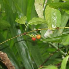 Gnetum gnetum - branch bearing a cone with seeds