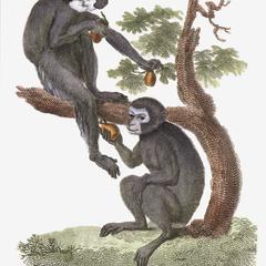 Hose's Langur and Bonobo Print