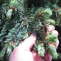Douglas fir with new growth including newly emergent ovulate cones