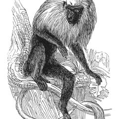 Seated Lion-Tailed Macaque Print