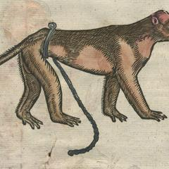 Captive Male Monkey Print