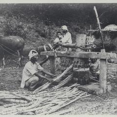 Grinding sugar cane, Ilocos Norte, 1926
