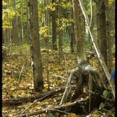 Yellow birch on stilt roots, Scott Lake-Shelp Lake, State Natural Area